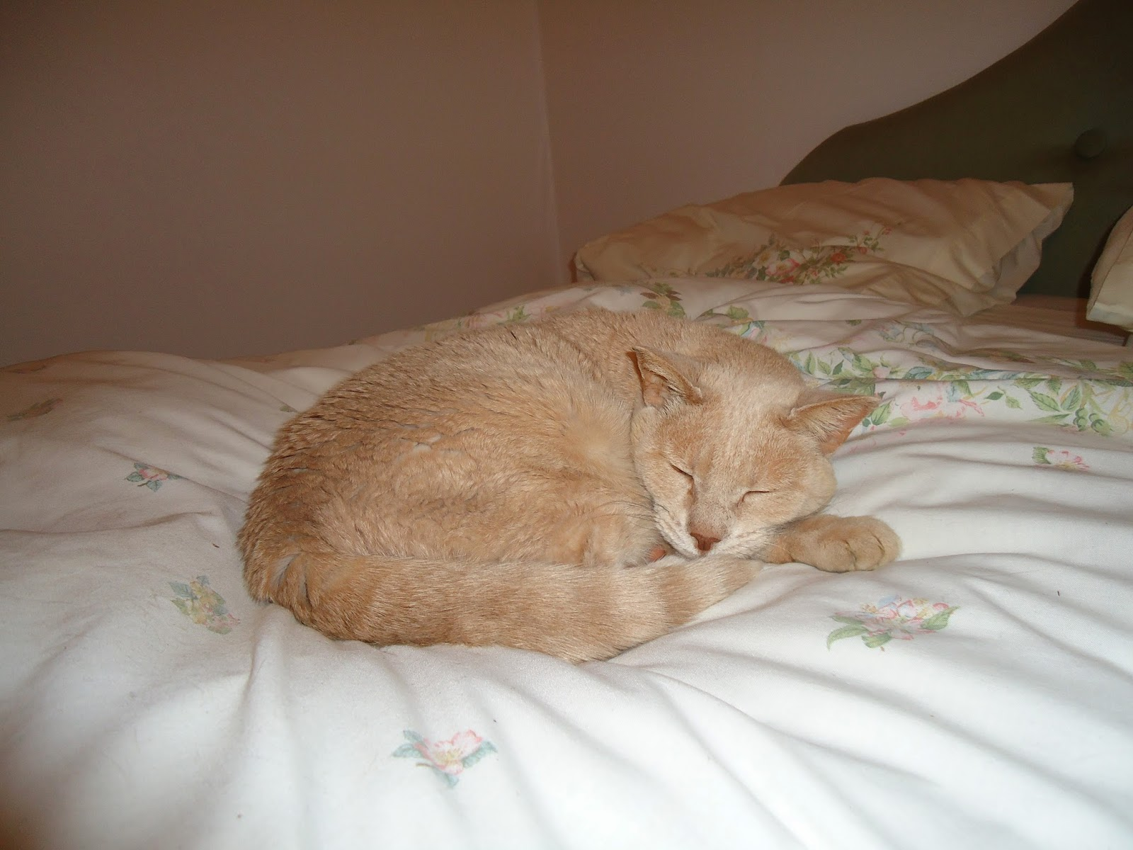 champagne burmese cat curled up on a bed