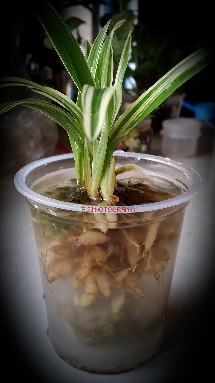 吊兰水培 Spider Plant - Sky Whispering