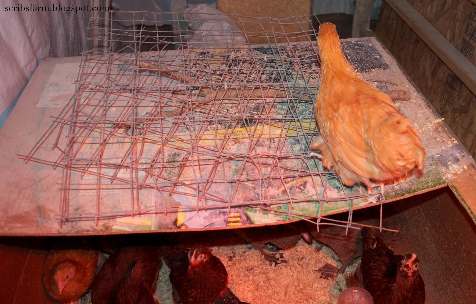 8 week chickens
