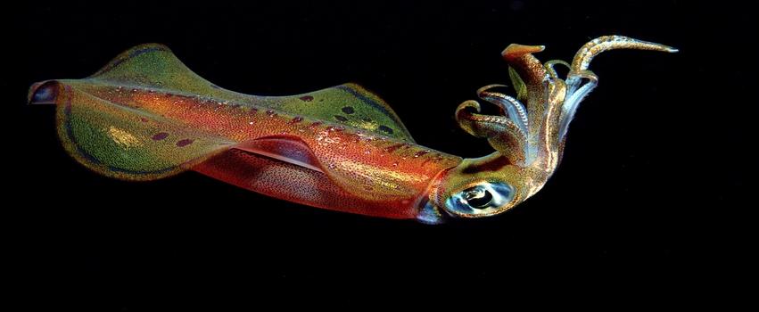 Colored Squid