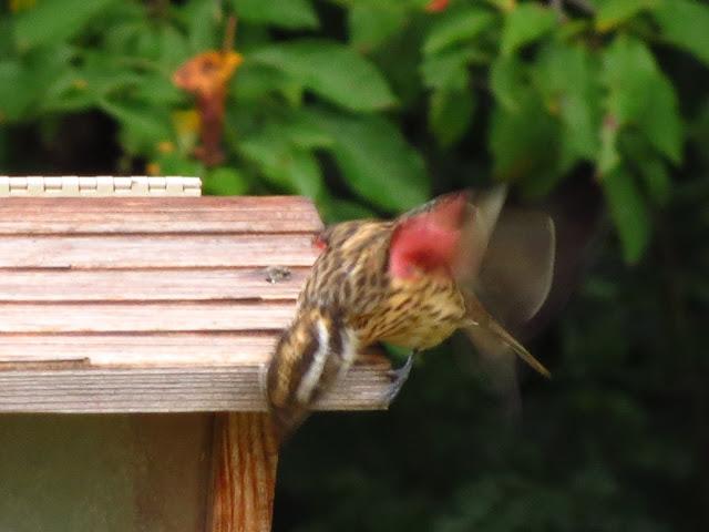 rose breasted grosbeak under wing