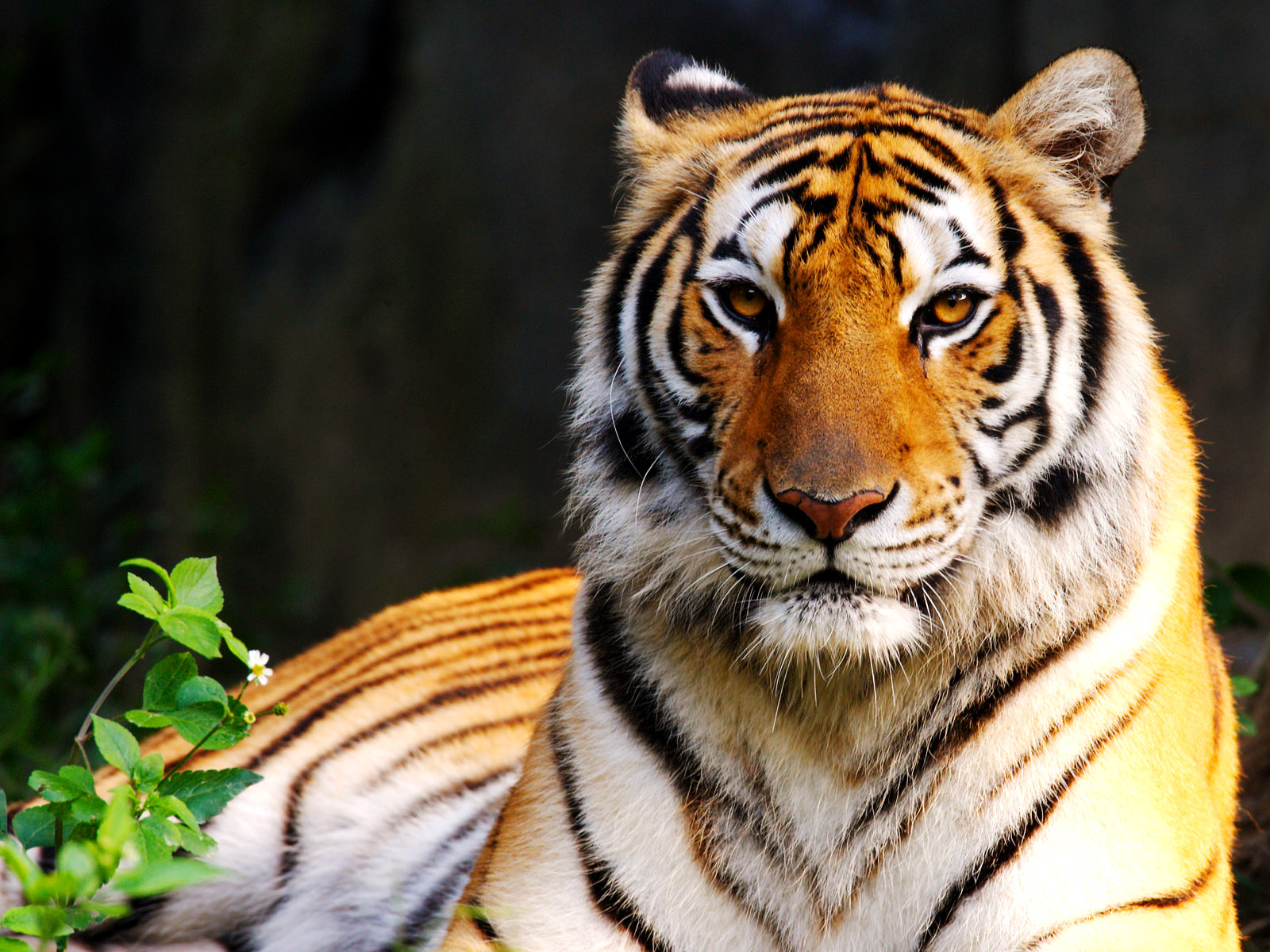 Central Wallpaper Colors Of Nature Tiger Hd Wallpapers