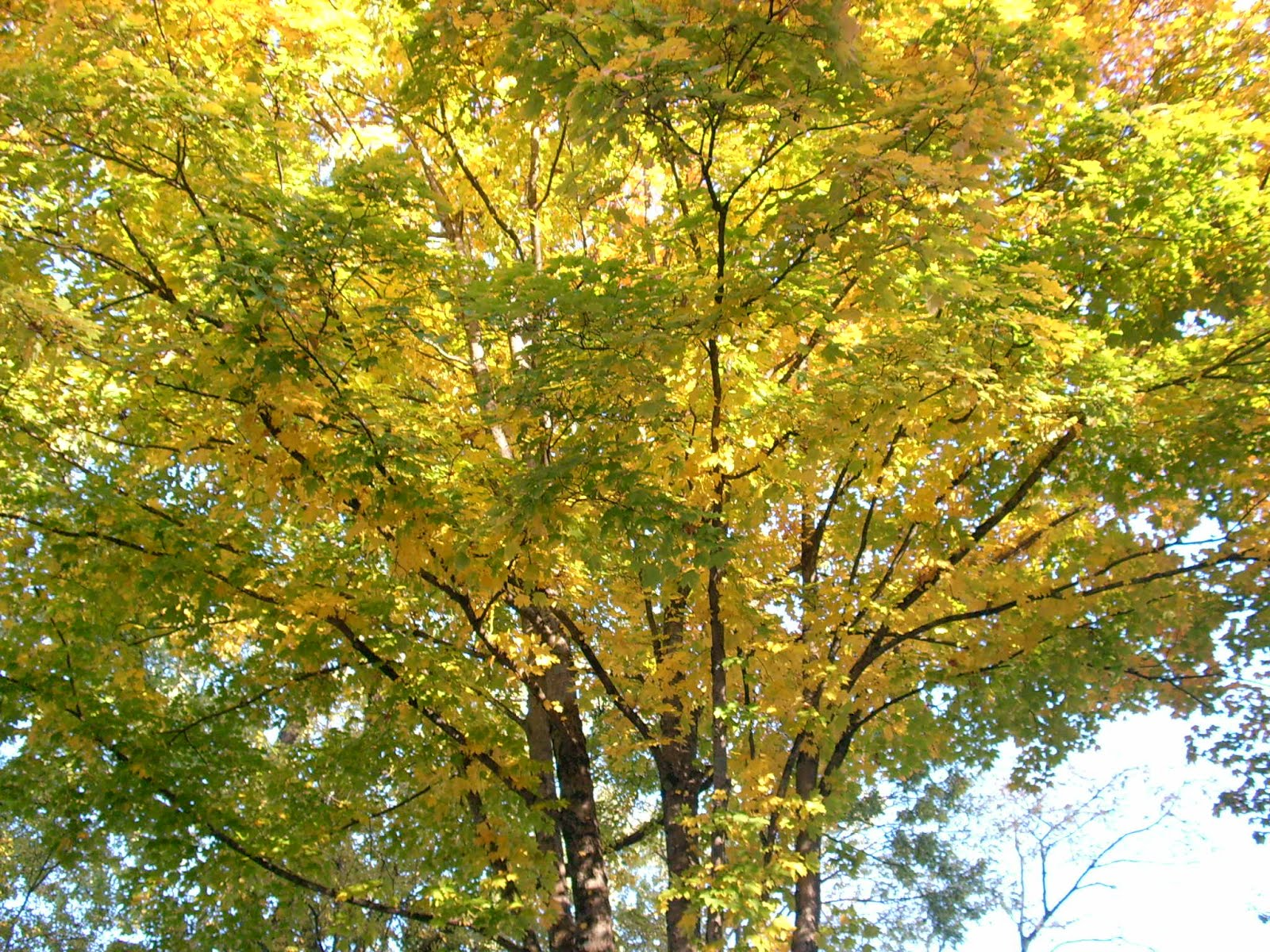 marvelous maple tree