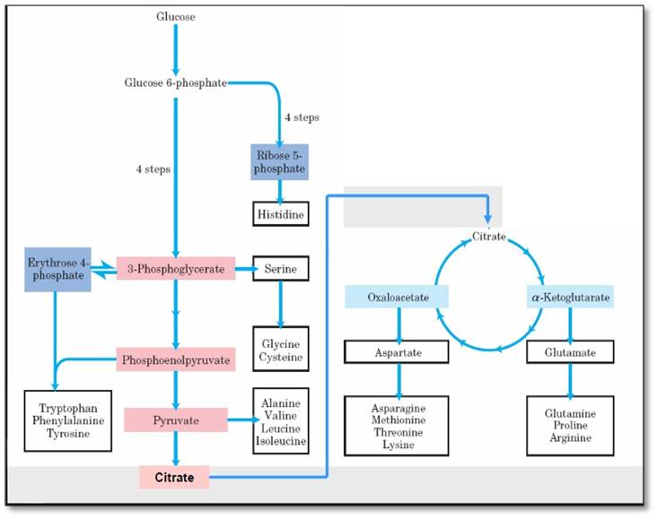 Karunia cahaya fajar 2 metabolisme gula dan biosintesis asam glutamat ccuart Choice Image