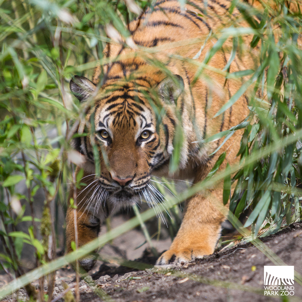Y Tigers Are Endangered Malayan tigers join