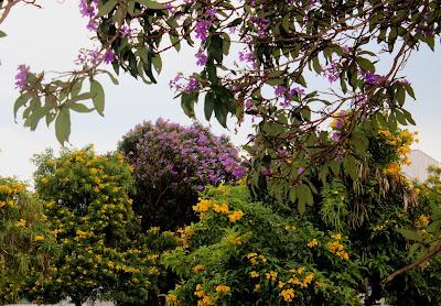 Quaresmeira roxa  e Bioniaa amarela