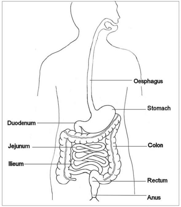 diagram of small intestine duodenum jejunum ileum