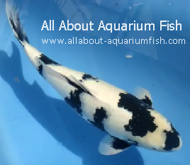 All about aquarium fish most expensive freshwater pet fish for Expensive koi carp for sale