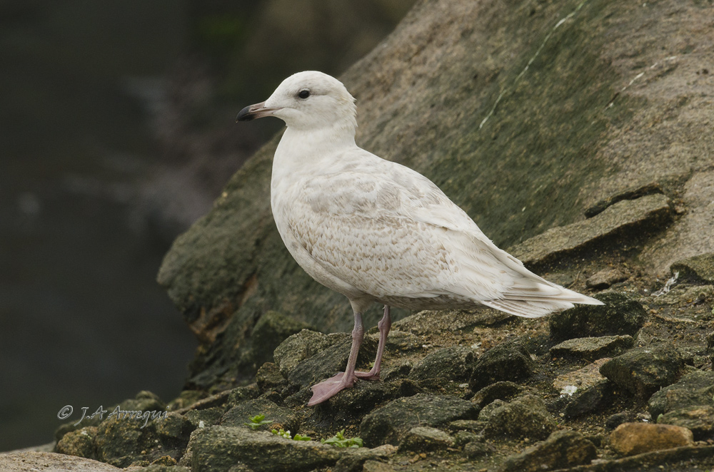 Gaviota groenlandesa, Larus galucoides kumlieni, Kumlien´s gull