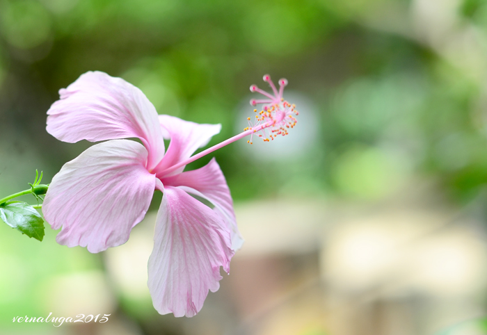 Gumamela, Verna Luga Floral Photography