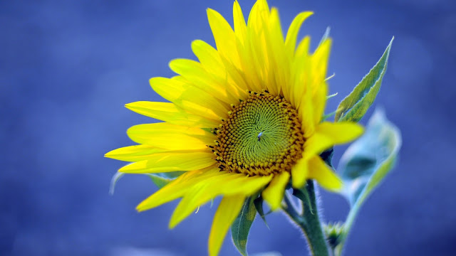 Yellow Sunflower Blue Background HD Wallpaper