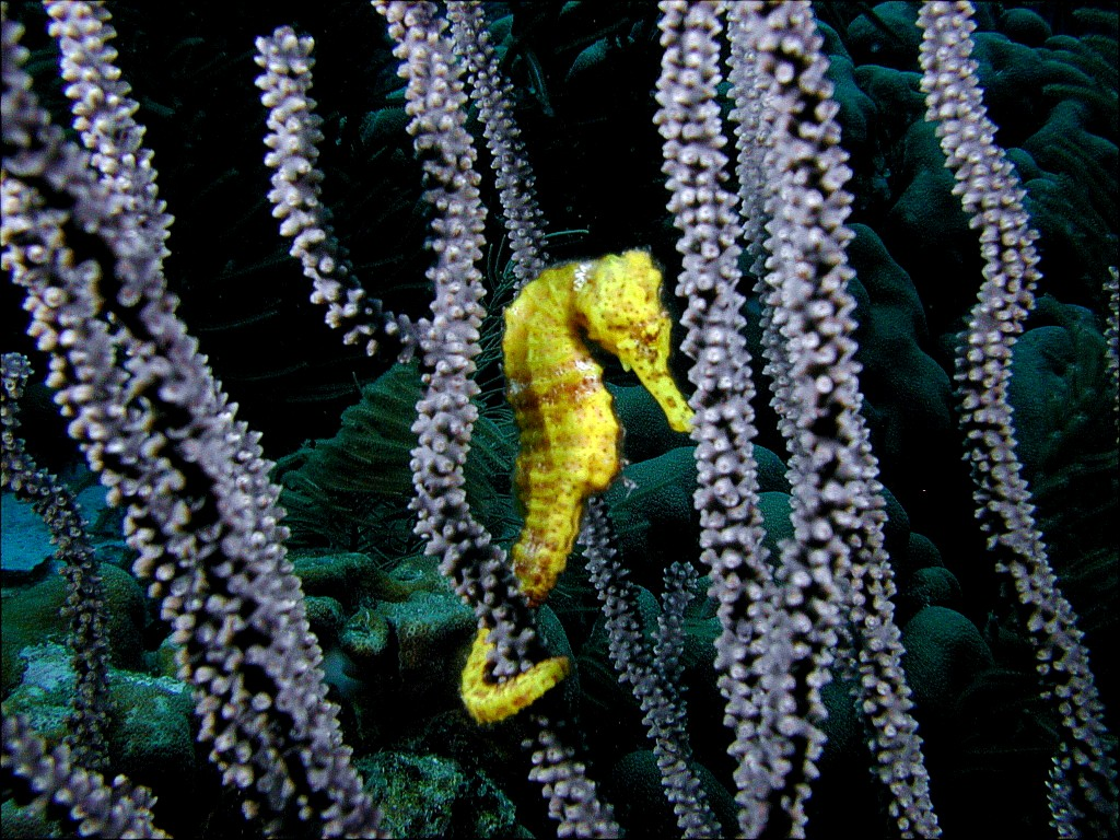 Manta Ray Sea Creature For Desktop - manta ray sea creature wallpapers