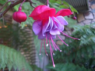 Fucsia y violeta para campanilla