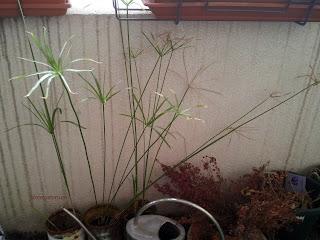 Cyperus papyrus, un cousin à lui en réalité.