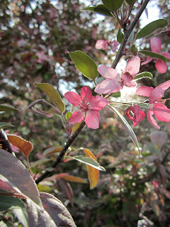 Crab Apple Blossoms Not Crabby!
