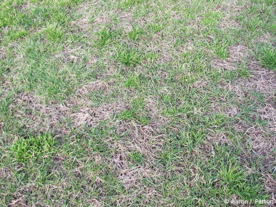 Purdue Turf Tips Weed Of The Month For April 2015 Is