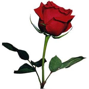 Una rosa, un libro Rosa_roja
