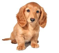 doxie puppy, dachshund puppy, cute puppy