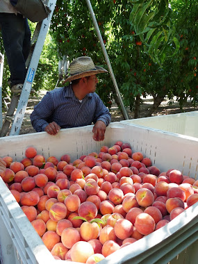 Peach Harvest  June 25