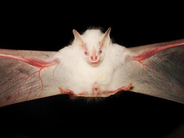 bioorbis incr237veis animais albinos