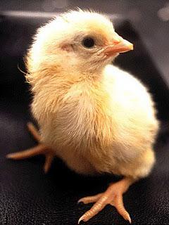 Proses Perkembangan Dari Telur Menjadi Ayam [ www.BlogApaAja.com ]