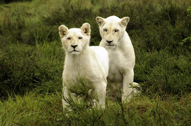 http://3.bp.blogspot.com/-Q8FLGs2tV1Q/TmsU1KZt0gI/AAAAAAAABMM/GytS4I__Ej4/s640/white_lion.jpg