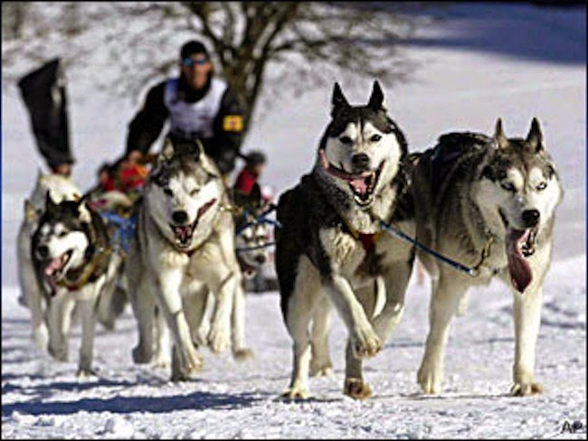 siberian husky sled dog team