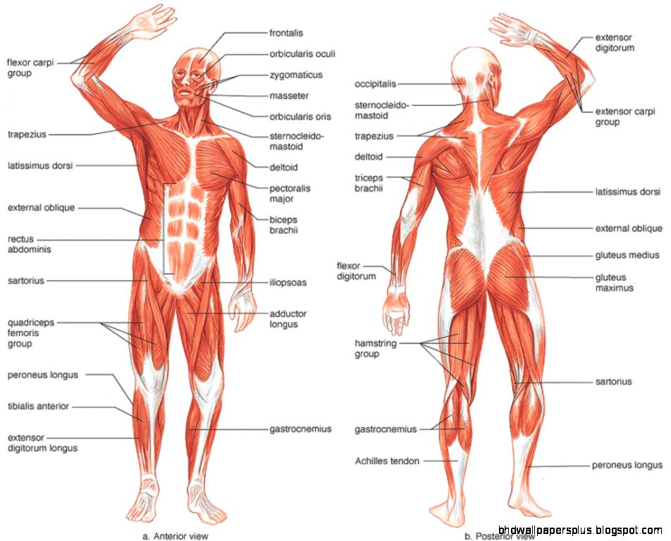 anatomy  Does Female Muscular System Different from Males