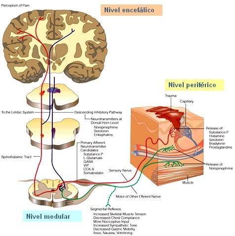 Fisioterapia: Teoría de las Compuertas [Dolor] Melzack y Wall (1965)