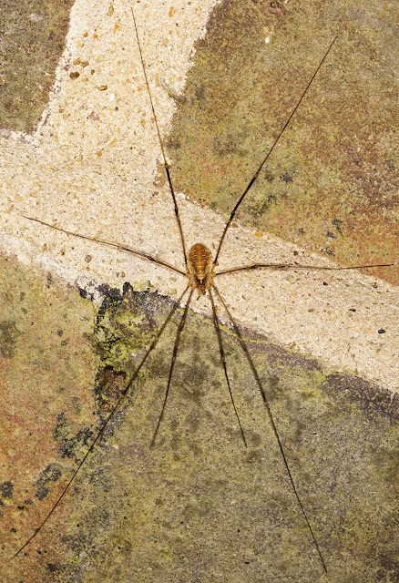 Red Harvestman, Opilio canestrinii.  House wall in Crowborough, 7 October 2015.