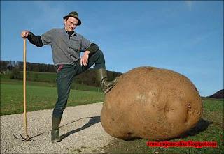 Veliki krompir, ogromni  rodio, smjesne slike