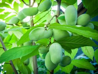 ポポー (アケビガキ) の葉っぱ