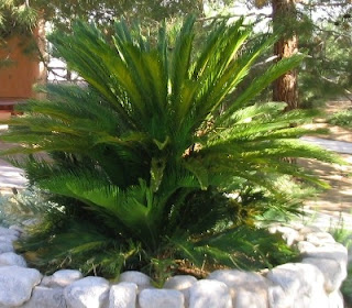 Sago palm (Cycas revoluta) is used for landscaping tropical Asian.