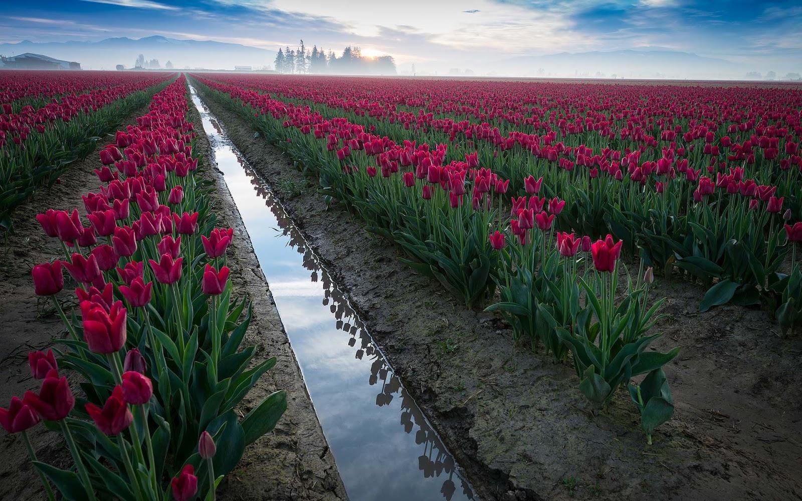 tulpen achtergrond met een - photo #24