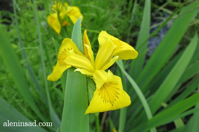 ирис болотный, ложноаировый, Iris pseudacorus, аленин сад