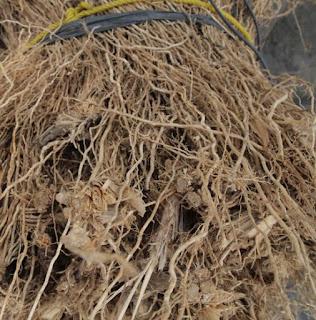 tanaman hias pengusir nyamuk akar wangi