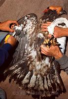 Subadult Bald Eagle feeding on a deer carcass (c) John Ashley