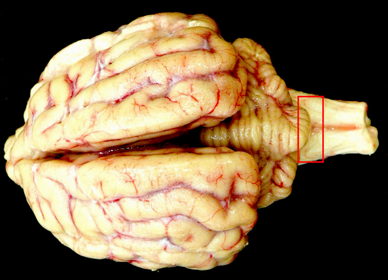 How big is a cow's brain?