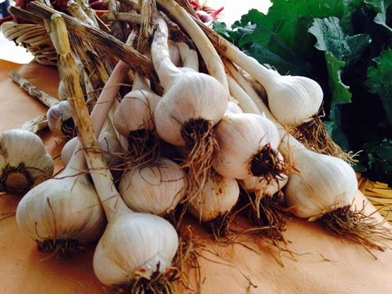 Echollective Garlic Varieties