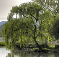 Saille the Willow tree