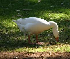 las aves crianza de gansos