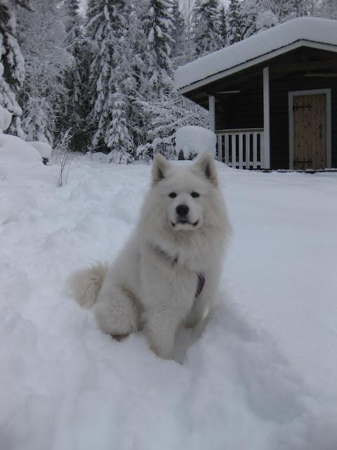 koiran lenkitys ilman hihnaa