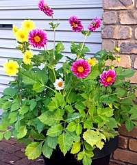 Dahlias growing in a container