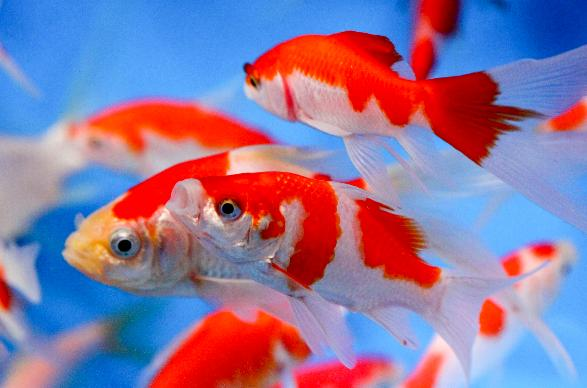 Red and white comet goldfish - photo#22