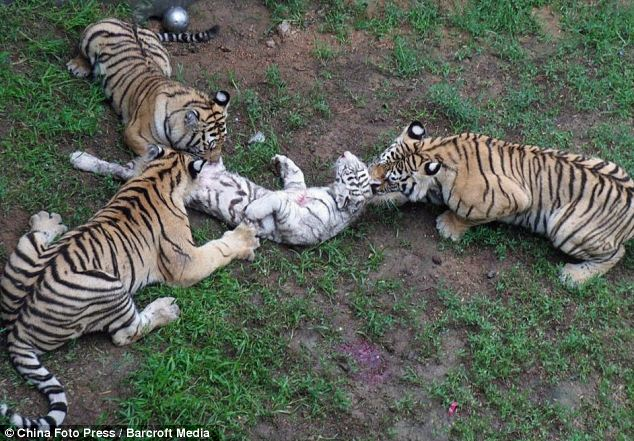 Horrific moment three young tigers attack and eat young cub at Chinese ...