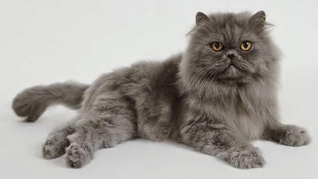 Harga Beli & Jual Serta Keistimewaan Kucing Persia 2015
