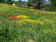 Camps florits a la vessant de llevant de la Serra de la Font de l'Ocata