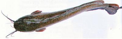 Cara Budidaya Ikan Lele Sangkuriang di kolam terpal