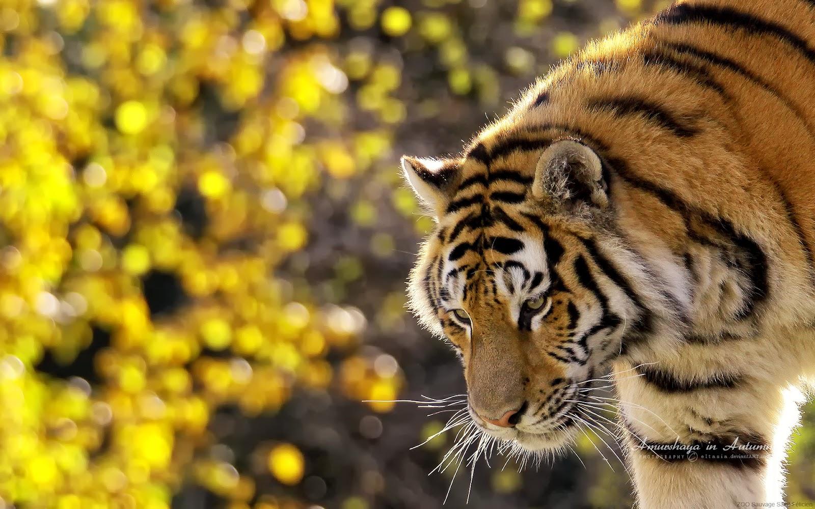 beautiful tiger HD wallpapers5586 En Güzel HD Masaüstü Kaplan Resimleri