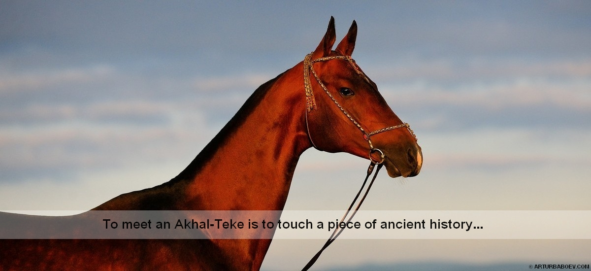 To meet an Akhal-Teke is to touch a piece of ancient history...
